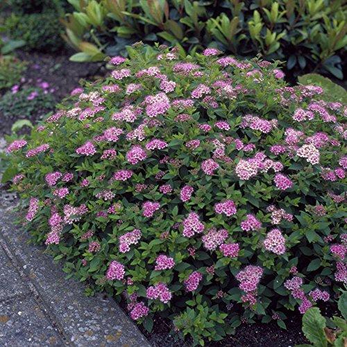rosa-zwergspiere-little-princess-5-straucher