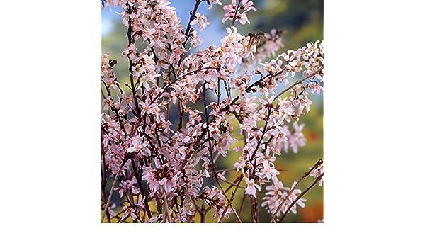 Pink Forsythia Tree Abeliophyllum distichum Roseum in 9cm Pot