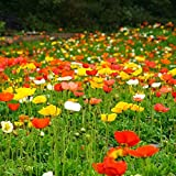 WuWxiuzhzhuo 50Gemischt Colorful Papaver rhoeas Blumensamen