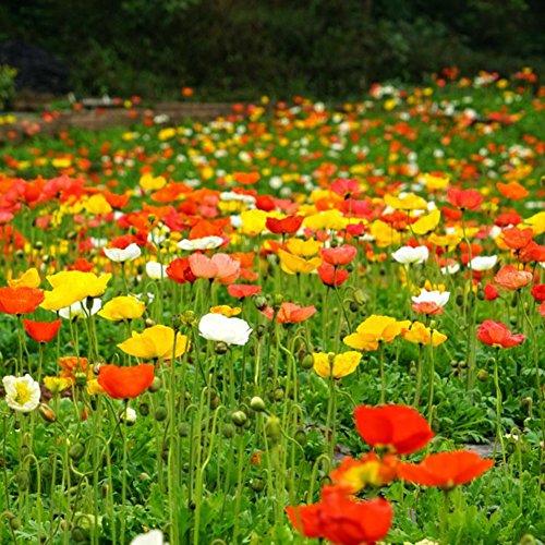 WuWxiuzhzhuo 50Gemischt Colorful Papaver rhoeas Blumensamen, Home Garden Pflanze Dekoration 1