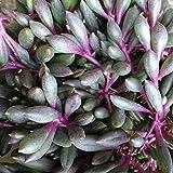 Senecio herreianus Purple Flush (String of Beads) - Steckling (unbewurzelt) - 5-8 cm