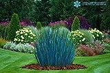 Wunderschönes Winterhartes Ziergras Festuca Valesiaca 'Glaucantha' ein echter Hingucker für Ihren Garten 1 Pflanze