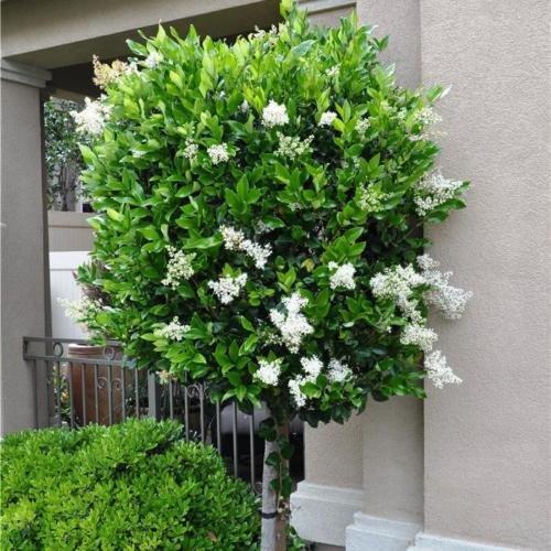 Future Exotics Ligustrum japonicum Texanum Echter Japanischer Liguster winterhart
