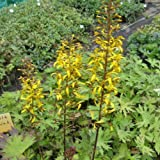 lichtnelke - Kerzengoldkolben (Ligularia przewalskii)
