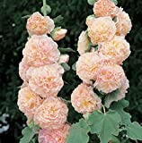 Saatgut, mehrjährige Lachsblume, 30 Samen