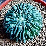 Jiacheng29 Sukkulentenpflanzen