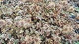 3x Stachelnüßchen, Acaena microphylla