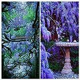 10 semillas de glicina al aire libre Semillas de plantas púrpura de las glicinias de...
