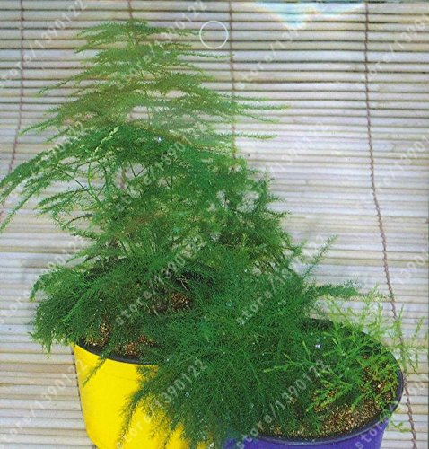 Paquet d'origine 6pcs / sac semences véritables petites bambou, Asperges Seeds (Asparagus setaceus) Plante Bonsai Setose Asparagus maison de jardin