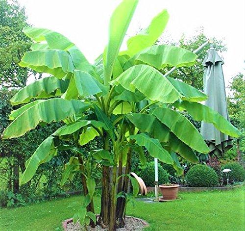 Frostharte schnellwachsende Banane reich fruchtend bis zu 4 Meter Höhe