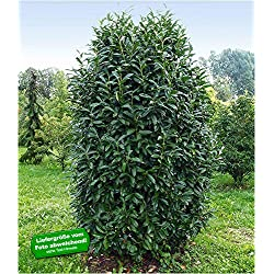 """BALDUR-Garten Immergrün Säulen-Kirschlorbeer""""Genolia®"""", 1 Pflanze Prunus laurocerasus Genolia® winterhart"""