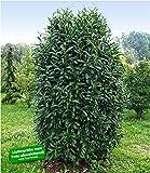 BALDUR-Garten Immergrün Säulen-Kirschlorbeer'Genolia®', 1 Pflanze Prunus laurocerasus Genolia® winterhart