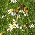 lichtnelke - Echte Kamille (Chamomilla recutita / Matricaria chamomilla) von Lichtnelke Pflanzenversand - Du und dein Garten