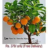 Live Dwarf Orange Plant Tangerine(Santra) origin Darjeeling