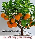 #2: Live Dwarf Orange Plant Tangerine(Santra) origin Darjeeling