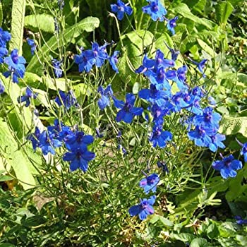 Delphinium staphisagria $15 christmas gift ideas