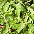 Stevia (Stevia rebaudiana) - Adäquater Ersatz für Rohrzucker zum Süßen von Tee, Desserts und Milchprodukten von Alexander Zierleyn bei Du und dein Garten