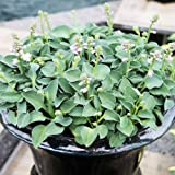 Hosta Planta decorativa Plantas de exterior Planta perenne Planta natural 1x Rizoma Hosta Blue Mouse Ears