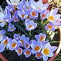Krokus sieberi Firefly von Meingartenshop bei Du und dein Garten