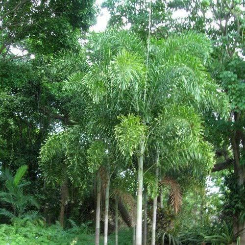 Portal Cool Wodyetia bifurcata/Palm Foxtail - Lot 5 Samen