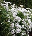 10 Pflanzen wunderschöne Rosa The Fairy WHITE Bodendecker Rosen ca.30cm Winterharte Rose Frosthart weiße Rosen von Lifestyle-Hamburg Pflanzenraritäten bei Du und dein Garten