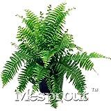 ! 100PCS giapponesi rari Creeper Boston semi felce, viti, piante rampicanti, Semi ornamentale Bonsai