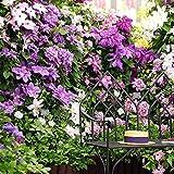 Yukio Samenhaus - 30 Stück Clematis Waldrebe Kletterpflanzen Immergrün winterhart Blumen Saatgut, blühende Fassadenkletterer, Terrassen, Pergolen oder Wintergärten