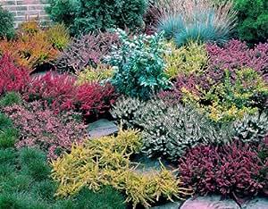 dominik blumen und pflanzen heidegarten sortiment bestehend aus je 1 pflanze sommerheide rot. Black Bedroom Furniture Sets. Home Design Ideas