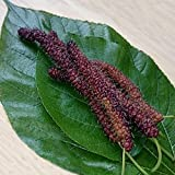 #7: Rare Morus nigra Long Mulberry (Hybrid) Live Plant (1 Healthy Live Plant)