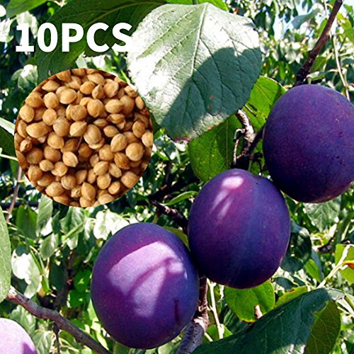 Rosepoem Pflaumensamen 10 Stück Schwarz Brin Samen Garten Gemüse Früchte