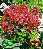 BALDUR-Garten Duft-Phlox 'Rot', 3 Knollen Flammenblume duftend