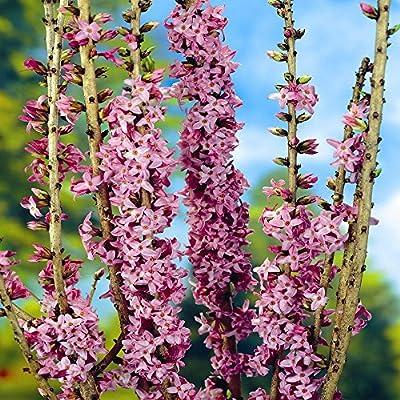 Seidelbast von Meingartenshop bei Du und dein Garten