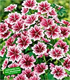 "BALDUR-Garten Stauden-Malve""Zebrina"" winterhart, 3 Pflanzen Malvenpflanze"