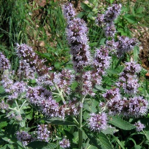 Plant World Seeds - Mentha Longifolia (buddleia Mint) Seeds