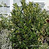 Kirschlorbeer 'Greentorch' cov, 60/80 cm, 2 Pflanzen im Set, je im 7 l Topf