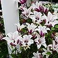Tulpen-Clematis Princess Kate von Gärtner Pötschke bei Du und dein Garten