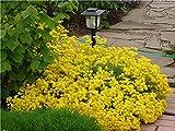 Steinkraut Gold - Alyssum Gold - Aurinia saxatilis compacta - Blume - 300 Samen