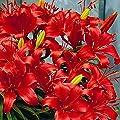 Asiatische Lilie Prunotto von Meingartenshop - Du und dein Garten