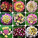 Pinkdose® Blumensamen Seltene Weiße Salbei Meistverkaufte Blumensamen Samen Küche Garten Samen Pack Von
