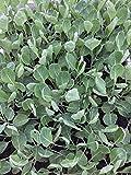 Rosenkohl Pflanzen, 10 Rosenkohlpflanzen, Gemüse Jungpflanzen