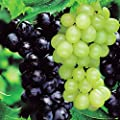 Weinrebe Boskop Glory blau and Pinot blanc - 2 sträucher von Meingartenshop bei Du und dein Garten