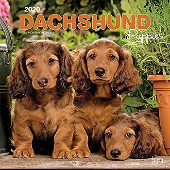 Dachshund Puppies 2020 Calendar