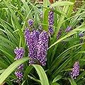 1 x Liriope muscari 'Ingwersen' Lilientraube (Ziergras/Gräser/Stauden) von Stauden Gänge auf Du und dein Garten