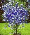 """BALDUR-Garten Zierstrauch """"Plumbago"""",2 Pflanzen Bleiwurz Plumbago auriculata Kübelpflanze für Balkon und Terrasse von Baldur-Garten - Du und dein Garten"""