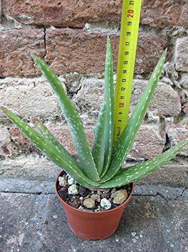 Aloe vera var. chinensis 20 cm, cactus, pianta grassa