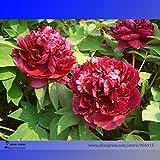 Go Garden Heirloom Tree-headed Dark Red Peony Arbusto Fiore, 5pcs / Pack, profumato giardino Fiore Luce