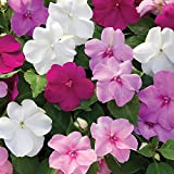 Busy Lizzie (Impatiens) Double Deluxe 24 Jumbo Plants – Mixed Colours (24-)