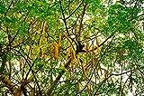 Meerrettichbaum Moringa