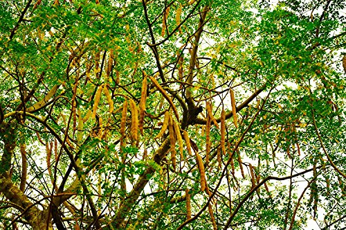 Moringa-bäume (Meerrettichbaum Moringa oleifera Wunderbaum Pflanze 20cm sehr selten Behenbaum)