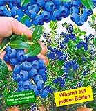 BALDUR-Garten Trauben-Heidelbeere Reka Blue, 1 Pflanze, Vaccinium corymbosum